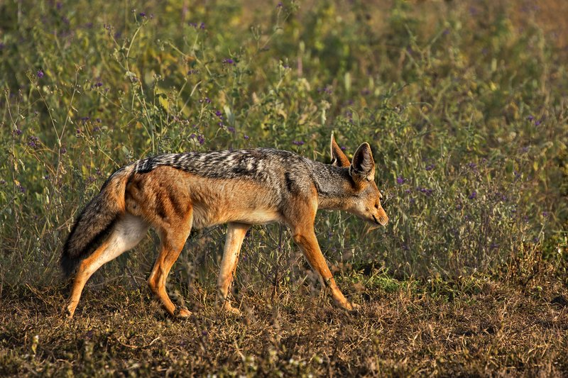 large_Jackal__Black_Backed_11.jpg