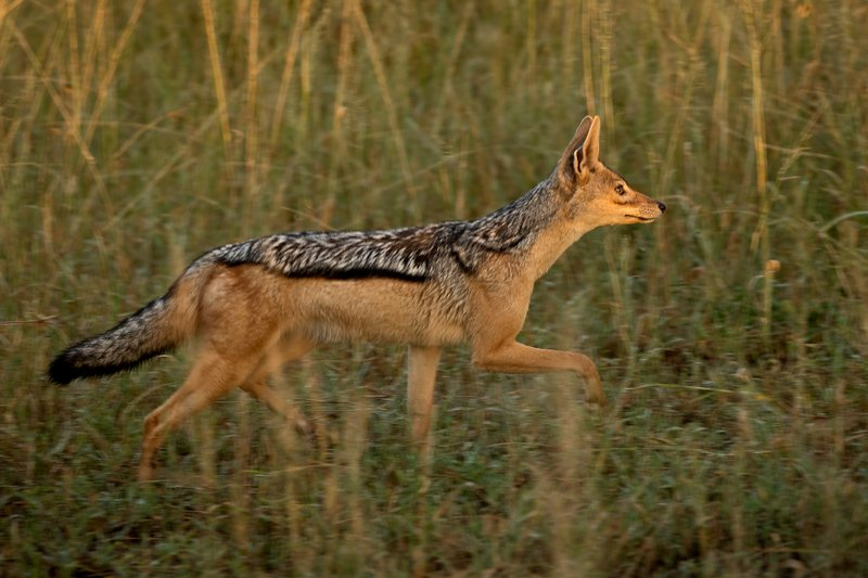large_Jackal__Black_Backed_204.jpg