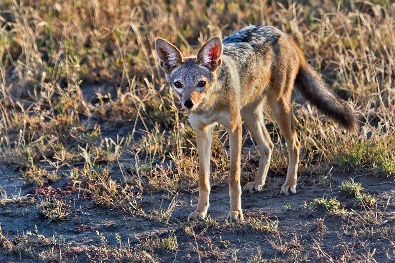 large_Jackal__Black_Backed_8-10.jpg
