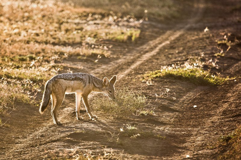 large_Jackal__Black_Backed_8-12.jpg