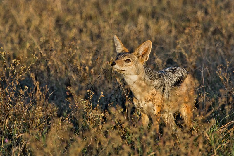 large_Jackal__Black_Backed_8-2.jpg