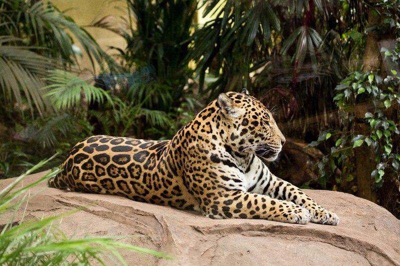 large_Jaguar_1.jpg