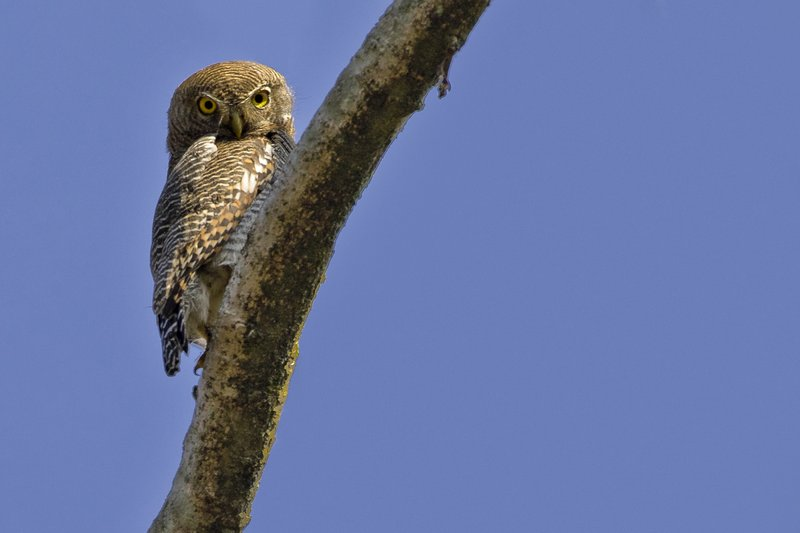 large_Jungle_Owlet_53.jpg