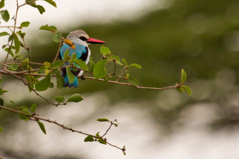 large_Kingfisher..Headed_11-1.jpg