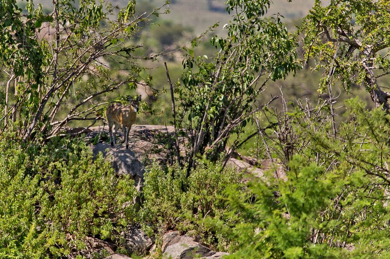 large_Klipspringer_10-1.jpg