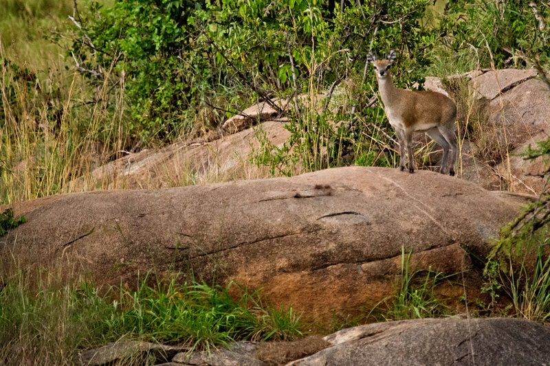 large_Klipspringer_9-1.jpg
