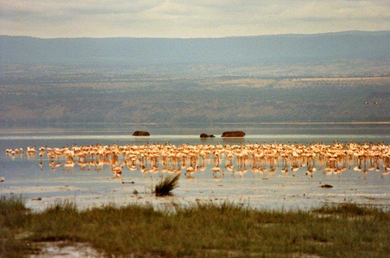 large_Lake_Nakur.._Hippo__033.jpg