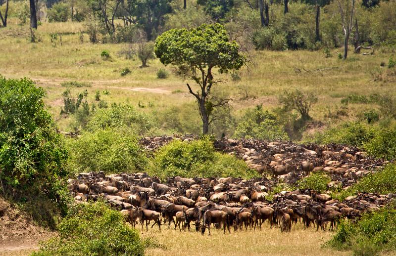 large_Large_Herd..ildebeest_3.jpg