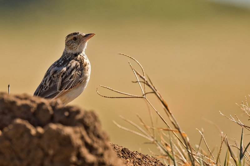 large_Lark__Crested_1.jpg