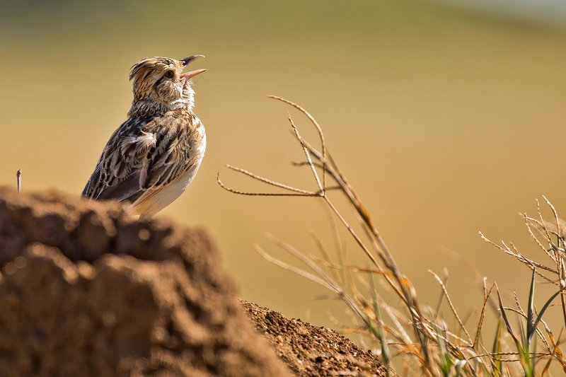 large_Lark__Crested_2.jpg