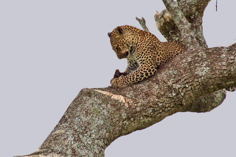 large_Leopard_10-12.jpg