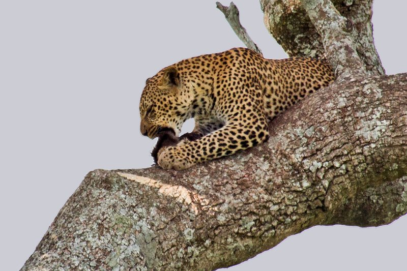 large_Leopard_10-13.jpg