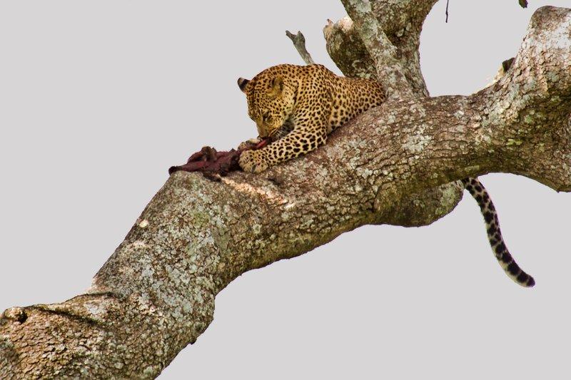large_Leopard_10-18.jpg