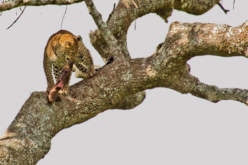 large_Leopard_10-26.jpg