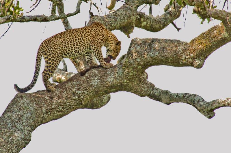 large_Leopard_10-32.jpg