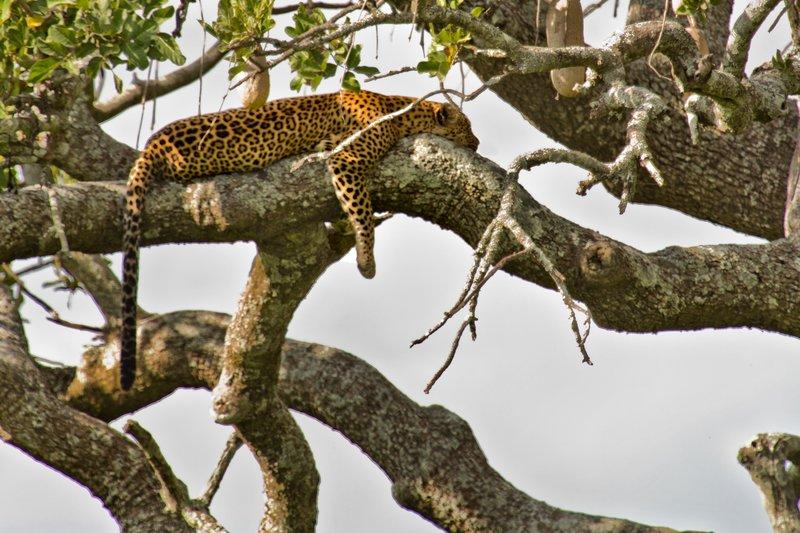 large_Leopard_10-33.jpg