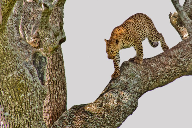 large_Leopard_10-37.jpg
