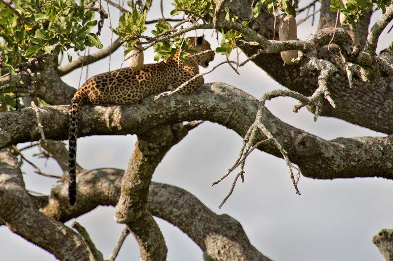 large_Leopard_10-41.jpg
