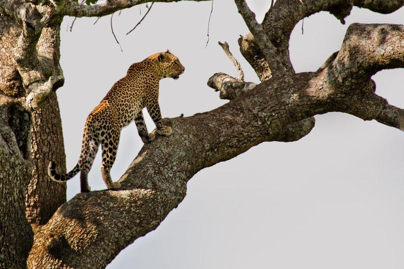 large_Leopard_10-43.jpg