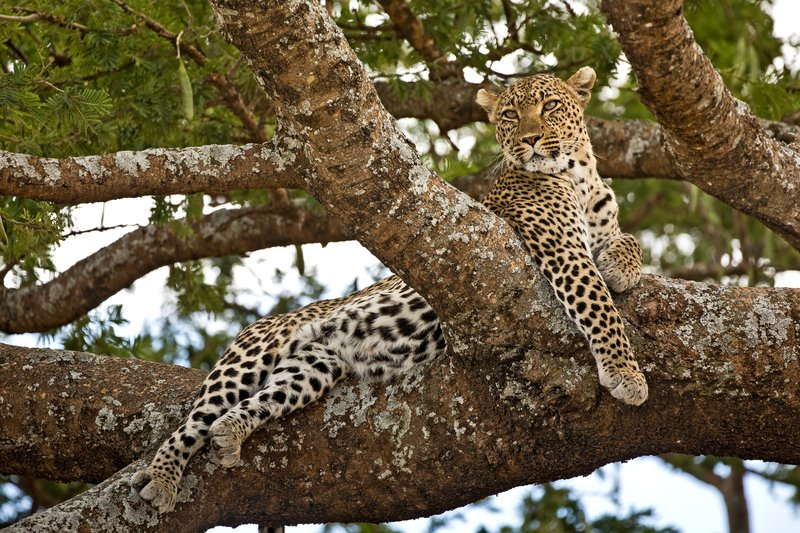 large_Leopard_102.jpg