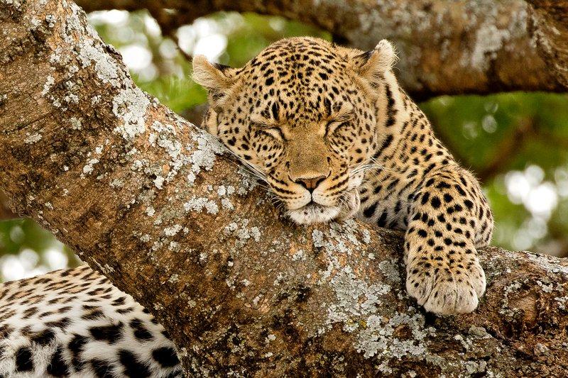 large_Leopard_103.jpg
