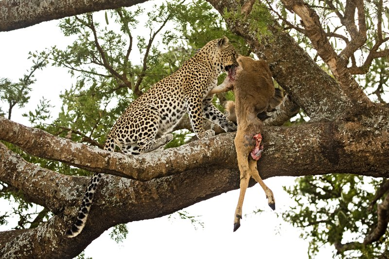 large_Leopard_113.jpg