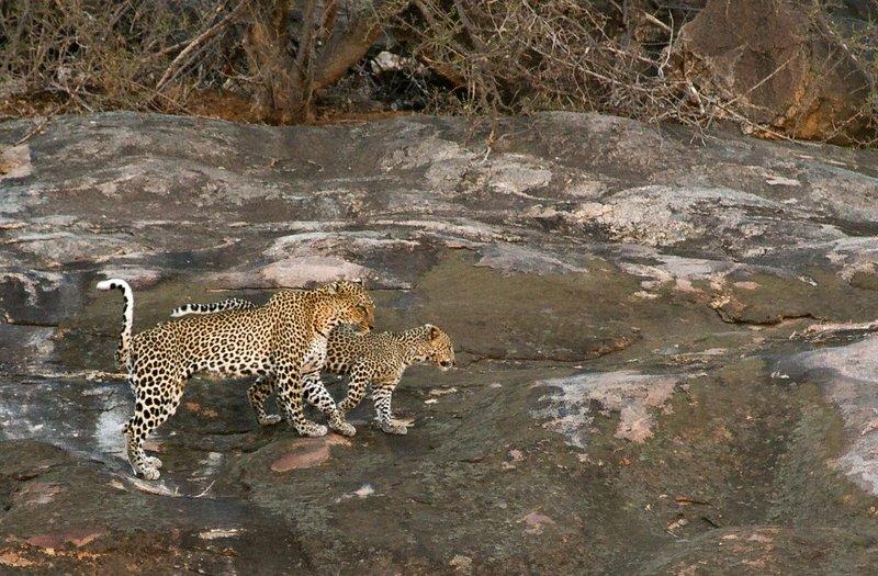 large_Leopard_17.jpg