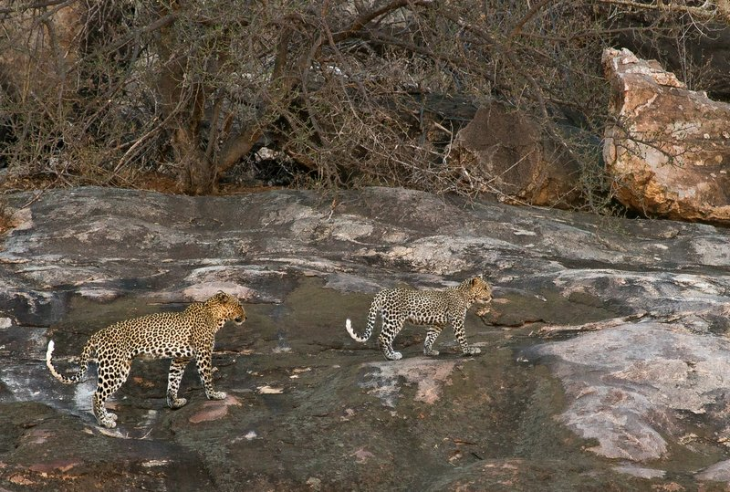 large_Leopard_18.jpg