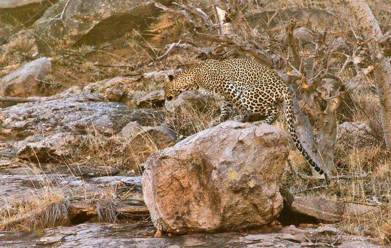 large_Leopard_2.jpg