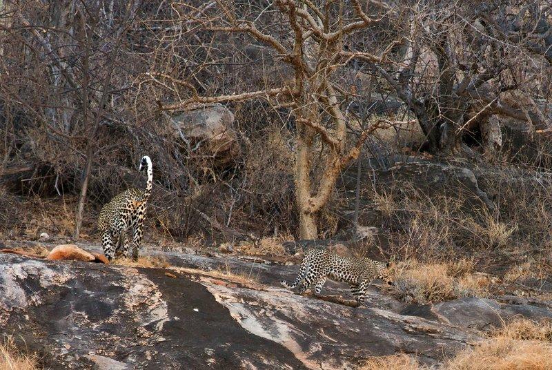 large_Leopard_20.jpg
