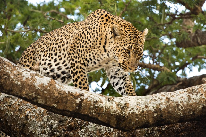 large_Leopard_21.jpg