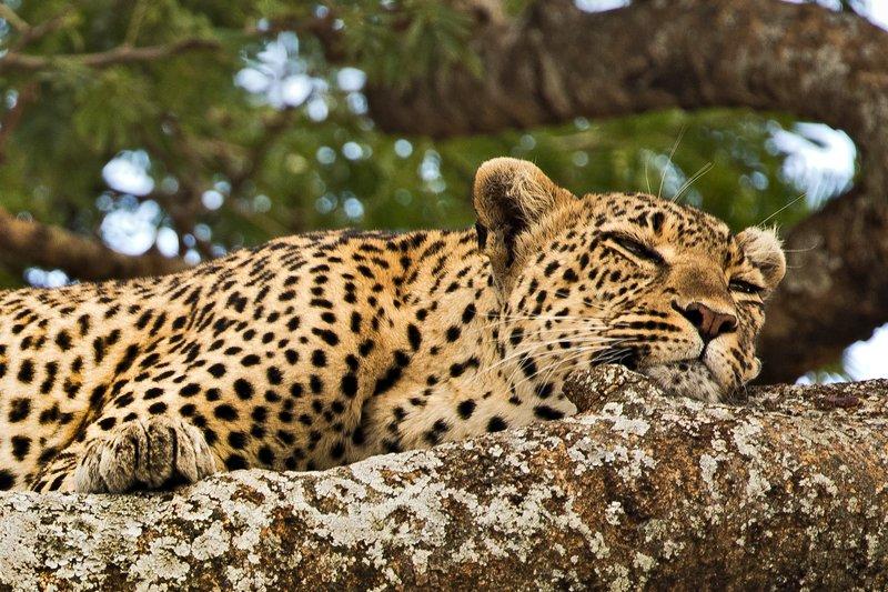 large_Leopard_32.jpg