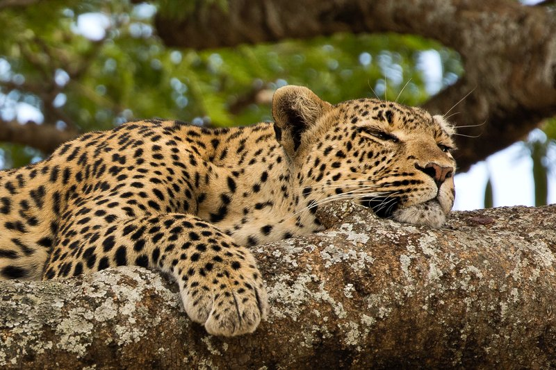 large_Leopard_35.jpg