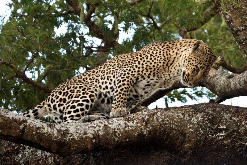 large_Leopard_39.jpg