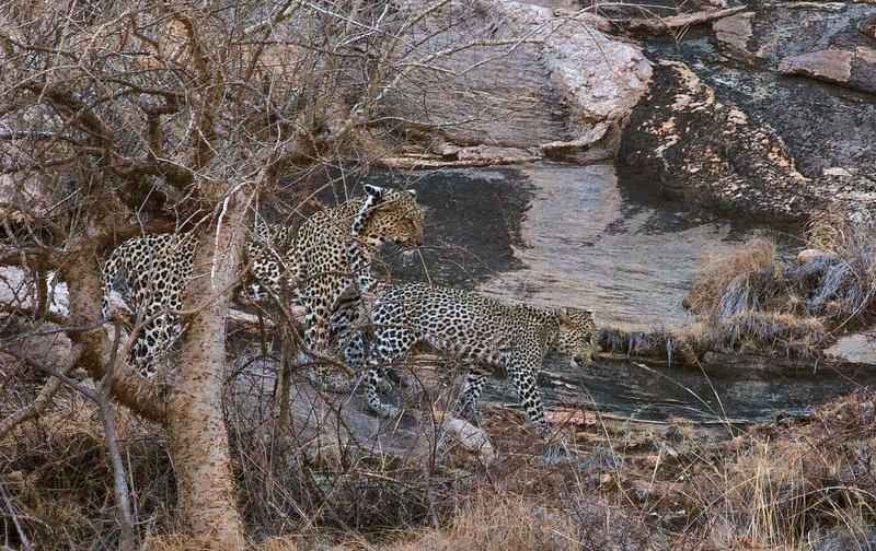 large_Leopard_4.jpg