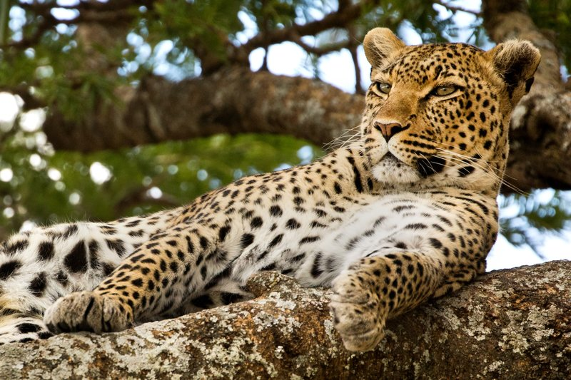 large_Leopard_44.jpg