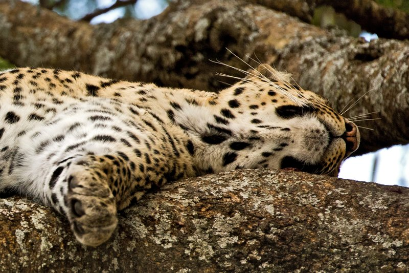 large_Leopard_45.jpg