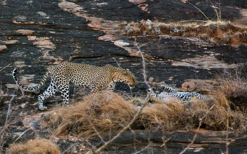 large_Leopard_5.jpg