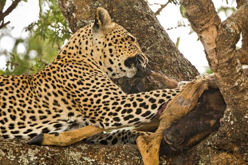 large_Leopard_65.jpg