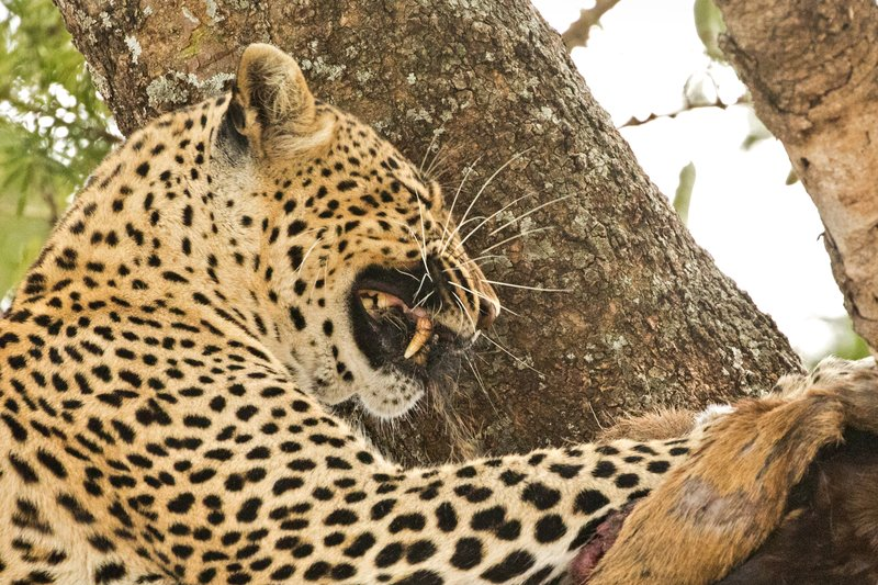 large_Leopard_66.jpg