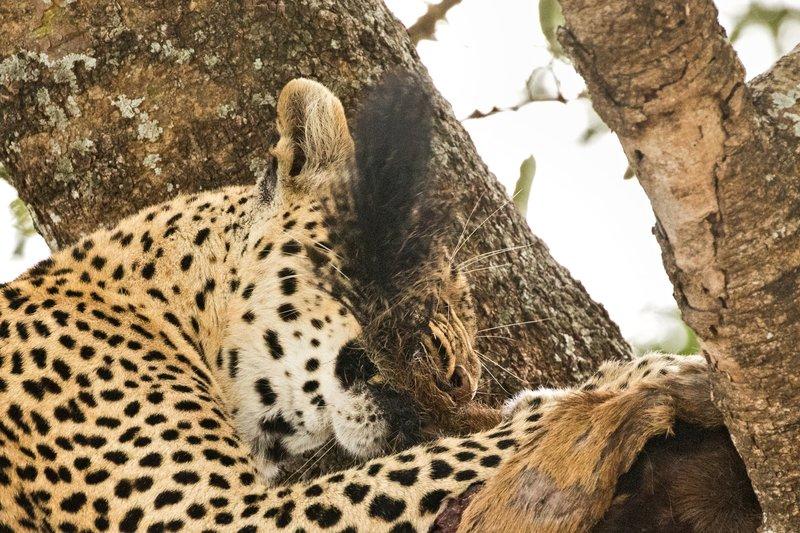 large_Leopard_68.jpg