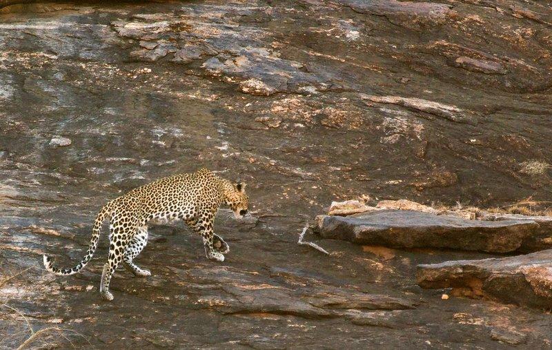 large_Leopard_7.jpg