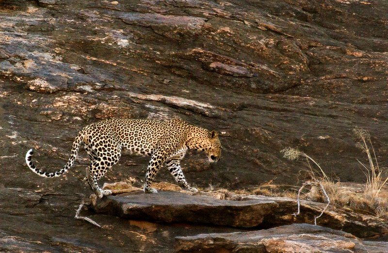 large_Leopard_9.jpg