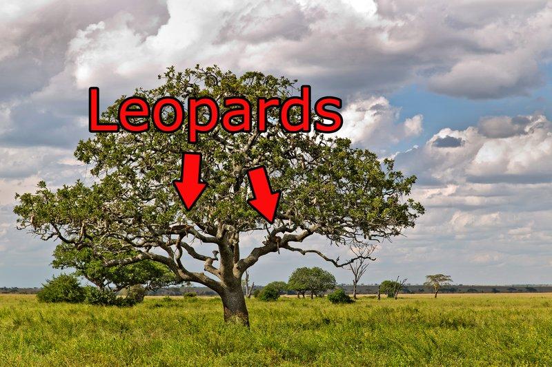 large_Leopards_in_a_Tree_10-2.jpg