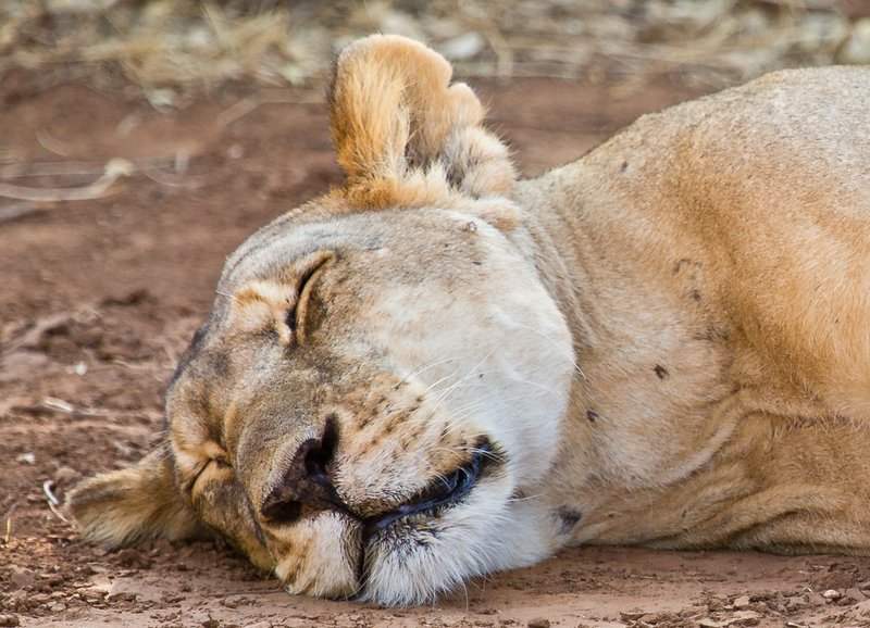 large_Lion_25.jpg