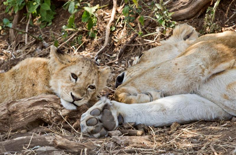 large_Lion_4.jpg