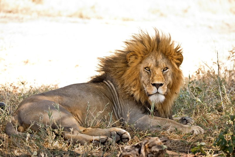 large_Lion_405.jpg