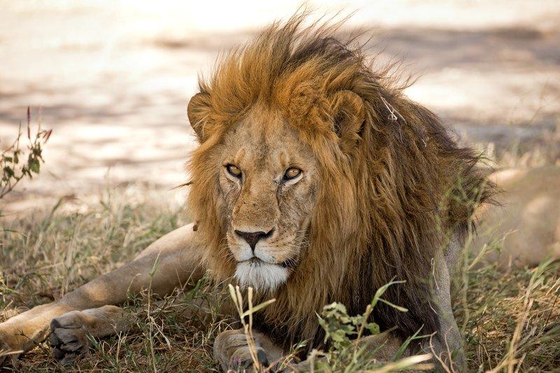 large_Lion_411.jpg