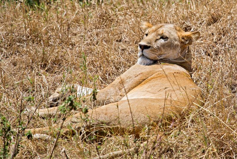 large_Lion_5.jpg
