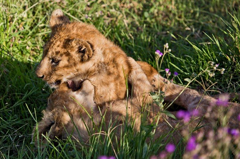 large_Lion_6-100.jpg